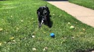 Labrador reluctantly shares her favorite ball with her human
