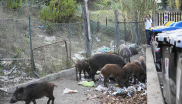 Basta! Romans say enough to invasion of wild boars in city