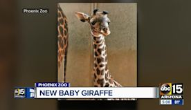 Baby giraffe born at Phoenix Zoo