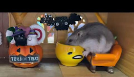 Hamster Has Its Fill of Treats at Miniature Halloween House