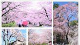 【美翻】20處日本京都賞櫻景點遊記美照與實用資訊比較分享!
