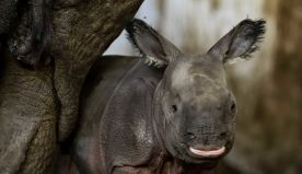 Endangered Indian rhinoceros baby is born in zoo in Poland