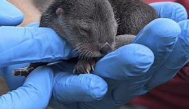 3 North American river otter pups born at Zoo Miami