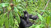Coronavirus threatens endangered gorillas, chimps, and orangutans