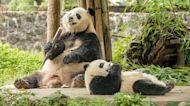 Giant Pandas Taken Off China's Endangered Species List