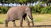 Kenya elephant population has more than doubled in last three decades, officials say