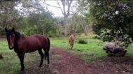 Horse and foal casually graze alongside giant Galapagos tortoises