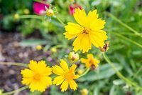 Coreopsis: Plant Care & Growing Guide