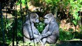 Gorillas Filmed Engaging in Sex Act, Surprising Bronx Zoo Visitors