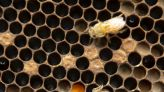 Penn State Extension launches bee-monitoring effort