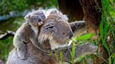 Australia's Koalas At Risk Of Becoming Extinct Due To Bushfires, Infection