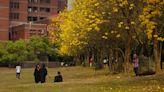 黃花風鈴木的浪漫之旅,這次來到嘉義中正大學