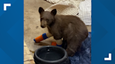 Lake Tahoe wildlife rescue not allowed to care for black bear cubs until improvements made