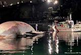 Calf leads coastguard to dead whale off Naples