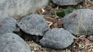 Baby giant tortoises in Galapagos park after trafficking attempt foiled