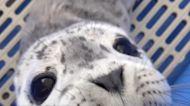 麻斑海豹寶寶的叫聲可愛到讓人融化