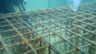 Endangered seahorses released across Sydney Harbour