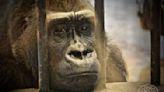 囚禁水泥牢籠38年!大猩猩「眼中含淚」向遊客乞食惹鼻酸