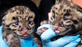 Miami zoo announces birth of clouded leopard kittens with adorable photos