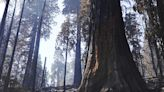 Fire cleanup closes off famed sequoias
