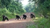 Roads depress chimpanzee numbers in West Africa, study shows