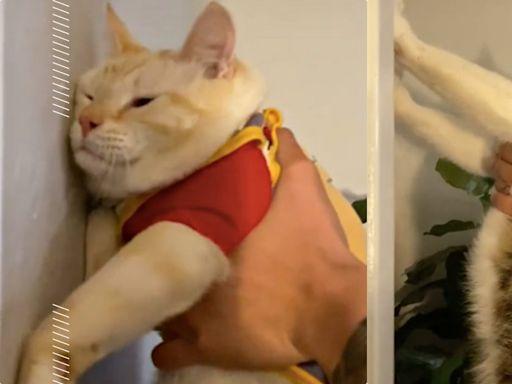 手抵牆測智商?貓咪智力測驗網上瘋傳,貓行為獸醫師:20問題簡單評估主子聰不聰明!   寵物   妞新聞 niusnews