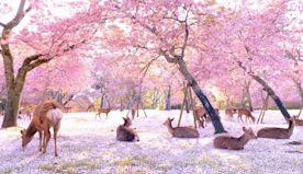 Video Shows Deer Enjoying The Cherry Blossoms In Nara Park, Japan