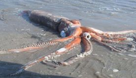 Photos show a rare, 14-foot giant squid that washed ashore in South Africa