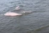 Residents rescue stranded pink dolphin in Thailand
