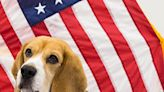 Key Breeds Needed For Crucial Work to Protect Country USDA Seeks Beagles, Labs – American Kennel Club