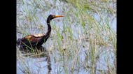 Efforts Continue to Save Birds From Post-Ida Oil Spill