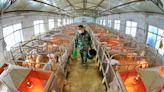 中國第3季豬肉產量1202萬噸 創3年新高 - 自由財經