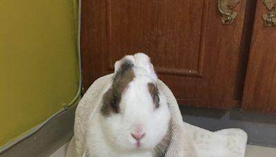 【寵物健康我守護‧徵文佳作】陳荺云 / 展現強韌生命力對抗病魔的兔奶奶