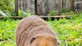 壽山動物園動物吃柚畫面相當吸睛 線上伴你過中秋