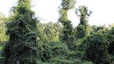 English ivy poses threat to tree health, but these volunteers are pushing back