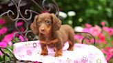 Video of disabled puppy dancing is melting hearts online