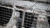 Coronavirus is striking American mink farms, but Illinois' shrinking fur industry has so far escaped the virus