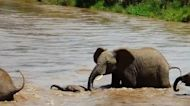 Entire elephant family works together to rescue baby from strong river current
