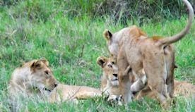 Spotting a beautiful Lion Herd in Tanzania
