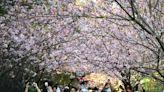 櫻花、海芋、紫藤花、薰衣草花都開好了!全台賞花地圖懶人包
