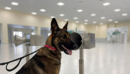 Led by the nose: Meet the UAE's COVID-19 sniffer dogs