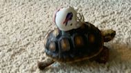 'Put Me in Coach!' Baby Tortoise Ready for Buffalo Bills Game