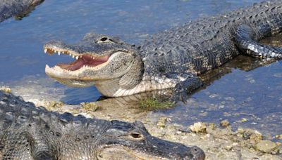 Residents warned as alligators take over Alabama city after heavy rain