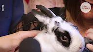 Marlon Bundo, Mike Pence's pet bunny, explains coronavirus guidelines in a kids book