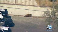 Bear tranquilized after strolling through Sylmar neighborhood, college campus