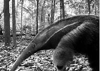 Giant Anteaters Can Kill People | Live Science