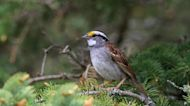 Sparrows In Canada Changed Their Song Baffling Scientists