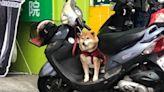 老外看台灣/阿柴坐機車引網友熱議 老外點出柴犬在台氾濫關鍵