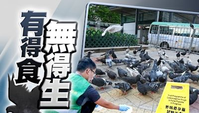 漁護署推避孕計劃向野鴿餵含藥飼料 冀野鳥節育減滋擾問題
