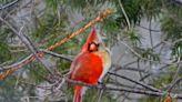手遊「憤怒鳥」本尊現身!攝影師幸運拍到「雌雄同體」北美紅雀